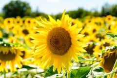 关闭在领域的一个向日葵 库存图片