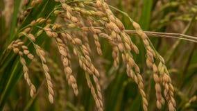 关闭在领域的棕色麦子 免版税库存照片
