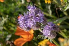 关闭在鸦片的领域的一朵开花的有花边的phacelia野花 免版税库存图片