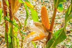关闭在麦子的耳朵的看法与弄脏的 免版税库存照片