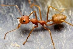 关闭在黑地板上的宏观顶视图蚂蚁 免版税图库摄影