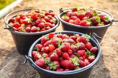 关闭在黑塑料桶的新鲜的红色草莓 免版税库存照片
