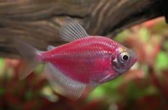 关闭在水族馆的一条桃红色焕发鱼 免版税库存图片