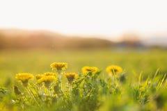 关闭在晴朗的夏天草甸的蒲公英 背景蓝色云彩调遣草绿色本质天空空白小束 免版税库存照片