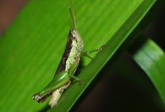 关闭在绿色叶子的一只蚂蚱 图库摄影
