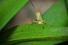 关闭在绿色叶子的一只蚂蚱 免版税图库摄影