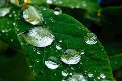 关闭在绿色叶子的成熟和水多的忍冬属植物莓果和水或者雨下落 免版税库存图片