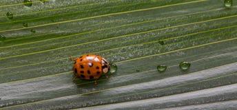 关闭在绿色植物叶子的小的瓢虫有水下落的 免版税库存照片
