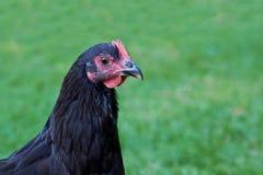 关闭在绿色象草的背景的黑母鸡 免版税库存照片