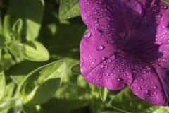 关闭在紫色Pitunia的露滴 免版税库存照片