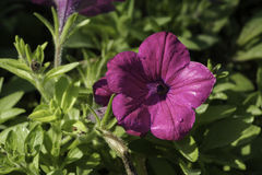 关闭在紫色Pitunia 库存照片