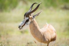 关闭在Kalagadi的一只跳羚 免版税库存照片