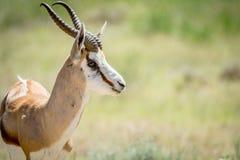 关闭在Kalagadi的一只跳羚 免版税库存图片
