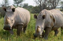 关闭在Khama储备,博茨瓦纳的犀牛 免版税库存照片