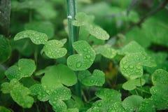 关闭在leucocephala绿色叶子与水下落的 免版税库存图片