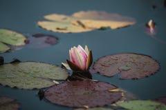 关闭在lilly在水的花 免版税库存照片