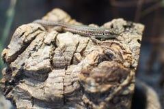 关闭在Podarcis Tauricus克里米亚半岛墙壁蜥蜴 库存照片