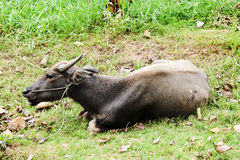 关闭在potrait的水牛在池塘和领域 免版税库存图片