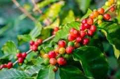 关闭在t的新鲜的有机红色未加工和成熟咖啡樱桃豆 免版税库存图片