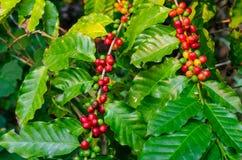 关闭在t的新鲜的有机红色未加工和成熟咖啡樱桃豆 免版税图库摄影