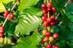 关闭在t的新鲜的有机红色未加工和成熟咖啡樱桃豆 免版税库存照片