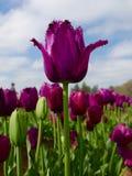 关闭在tuilip领域的唯一紫色郁金香 免版税库存照片