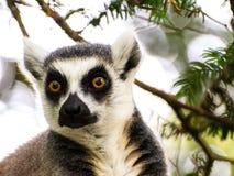 关闭坐在树的Lemar猴子 库存图片