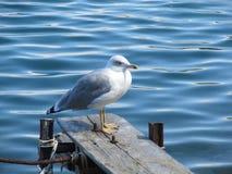 关闭坐由海滩的观点的白色鸟海鸥 野生海鸥有自然蓝色背景 库存图片