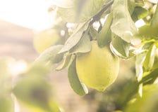 关闭垂悬从一棵树的柠檬在阳光的Lemon Grove 库存图片