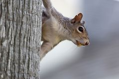 关闭垂悬在与一枚坚果的一棵树的灰鼠在它的嘴 库存图片