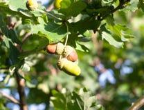 关闭垂悬在夏天秋天的结尾的树的橡子 库存照片