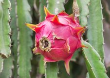 关闭垂悬在树的桃红色龙果子或pitaya或pitahaya果子 库存图片