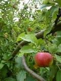 关闭垂悬在树的绿色和红色苹果计算机 免版税库存图片