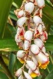关闭垂悬颠倒在一个绿色庭院,萨利姆, Yercaud, tamilnadu,印度, 2017年4月29日里的色的花蕾 库存图片