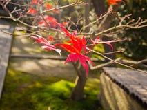 关闭垂悬fron的红色叶子树的分支在秋天季节期间在京都 免版税图库摄影
