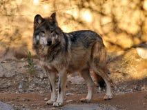 关闭墨西哥灰狼充分的身体 库存图片