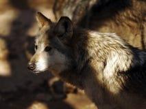 关闭墨西哥灰狼面孔 免版税库存照片