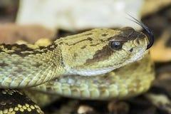 关闭外形亚利桑那黑色尾巴响尾蛇分叉了舌头 图库摄影