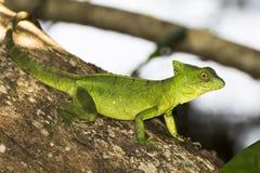 关闭外形鲜绿色在树的蛇怪蜥蜴 图库摄影