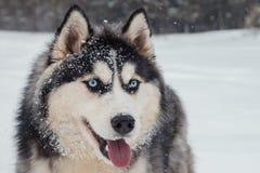 关闭多壳的狗画象在冬天背景的 免版税库存照片