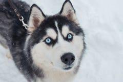 关闭多壳的狗画象在冬天背景的 免版税图库摄影