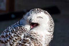 关闭多雪的猫头鹰 免版税图库摄影