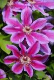 关闭大开花的铁线莲属烟花 库存照片