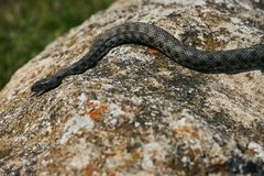 关闭大欧洲人非有毒加法器蛇 库存照片