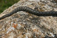 关闭大欧洲人非有毒加法器蛇 免版税库存图片