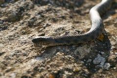 关闭大欧洲人非有毒加法器蛇 免版税图库摄影