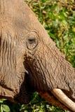 关闭大象在徒步旅行队的肯尼亚 免版税图库摄影