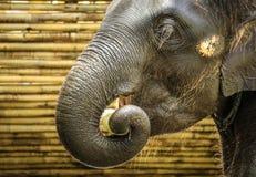 关闭大象在饲养时间在动物园 库存图片