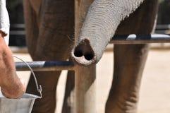 关闭大象树干  库存照片