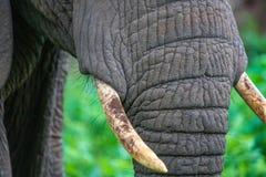 关闭大象象牙 免版税库存照片